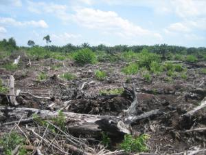 A degraded tropical peatland in Borneo, with an approximately five year old oil palm plantation in the distance.